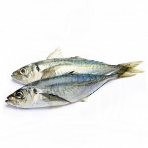 Ikan Gembung
