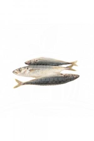 Ikan Dencis Besar
