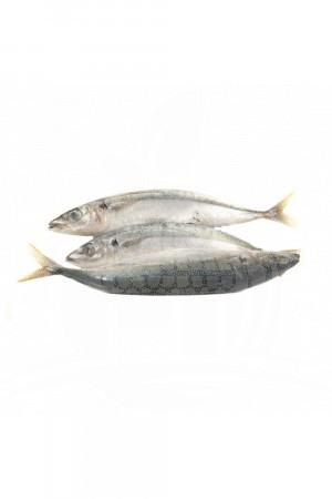 Ikan Dencis Kecil